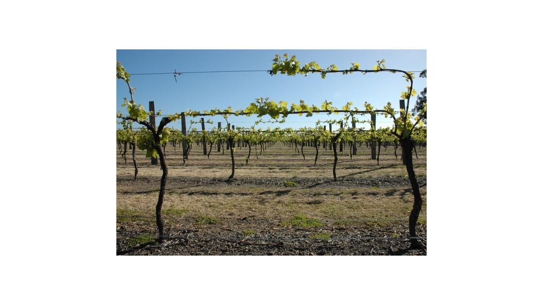 Les vignes de Nouvelle Zélande