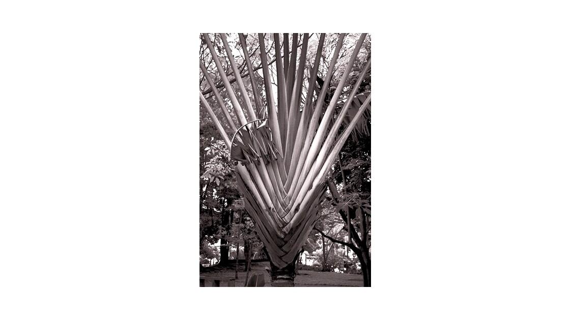L'arbre du voyageur-Ravenala_madagasca