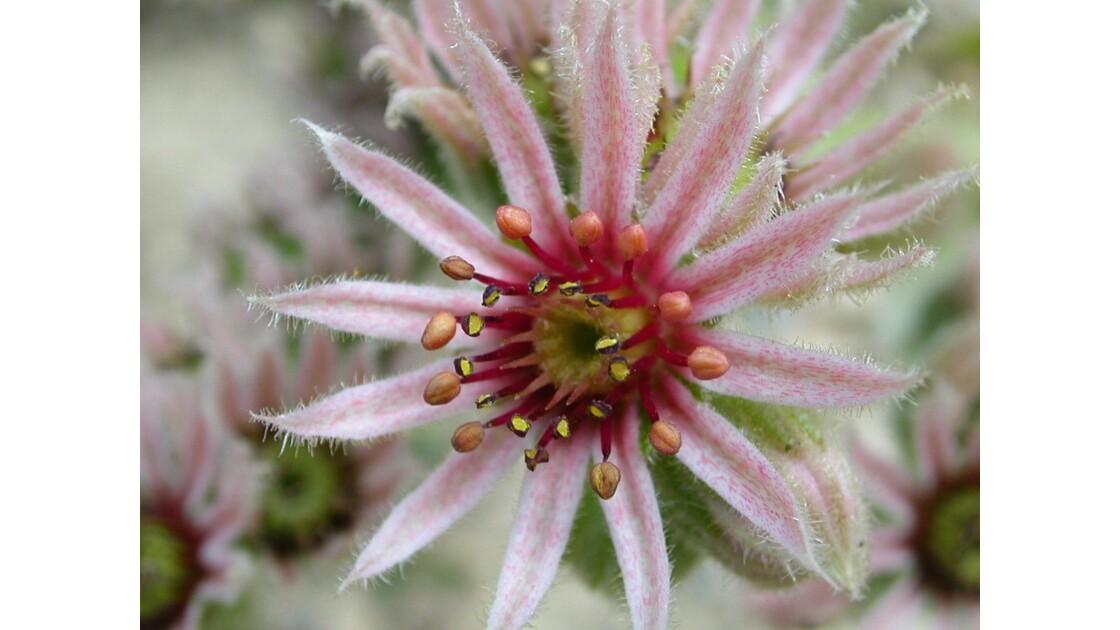 Fleur de joubarbe