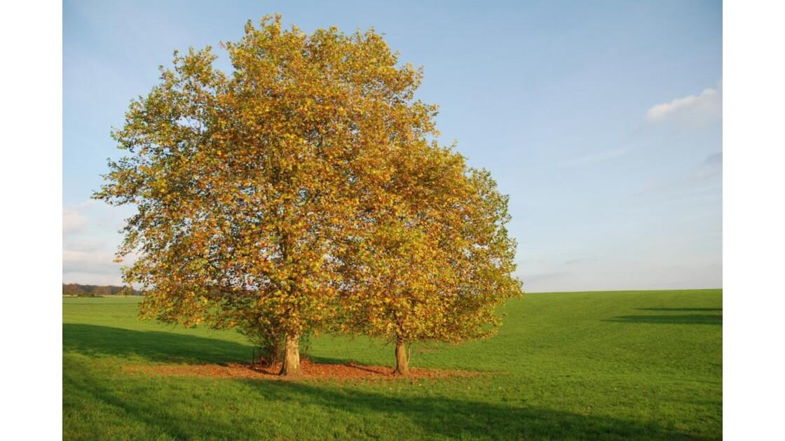 platane en automne