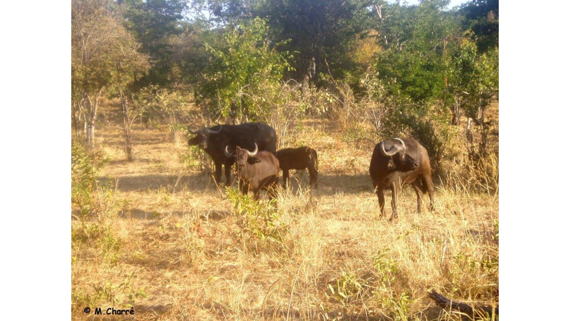 BOTSWANA - Parc Chobe - 2006
