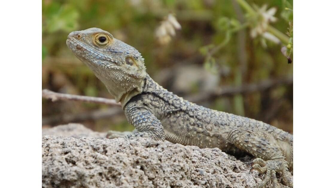 Gecko de Turquie (Avril 2008)