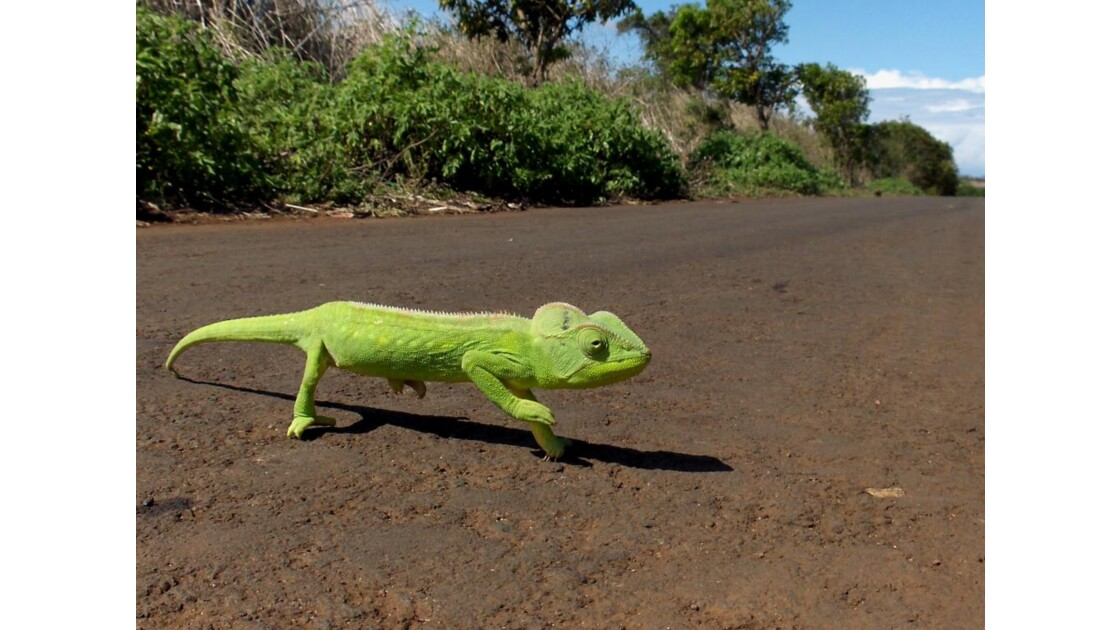 MADAGASCAR CAMELEON