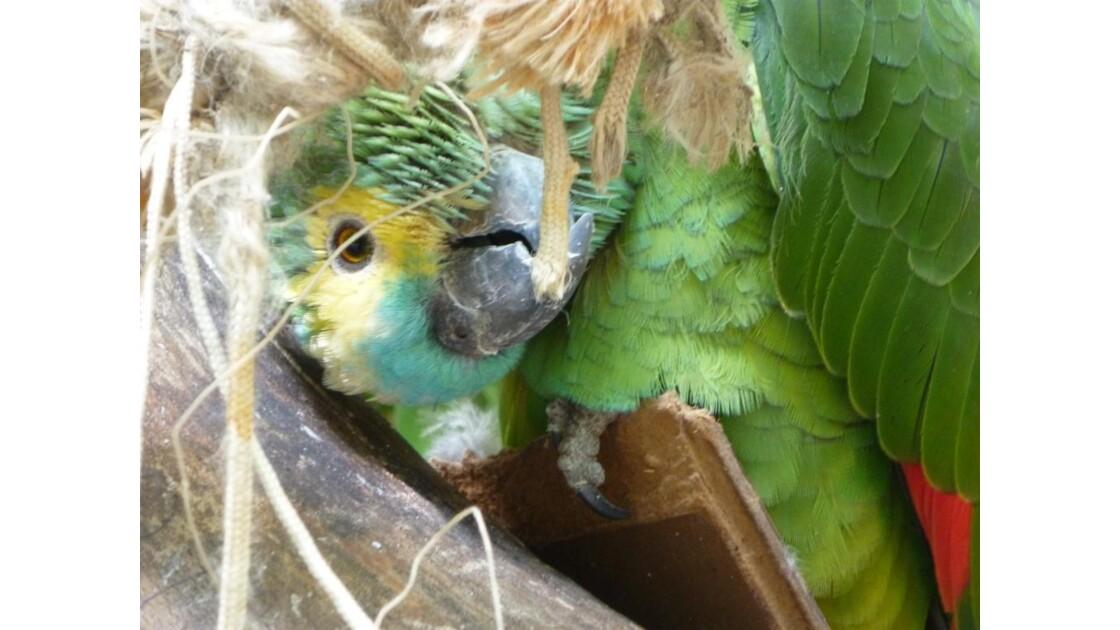 Didou le perroquet