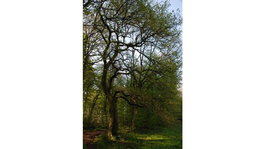chêne de lisière