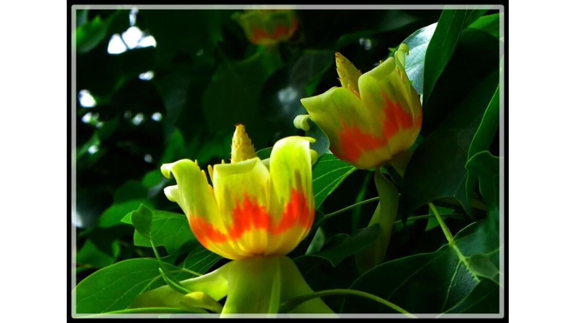Tulipier de Virginie.JPG