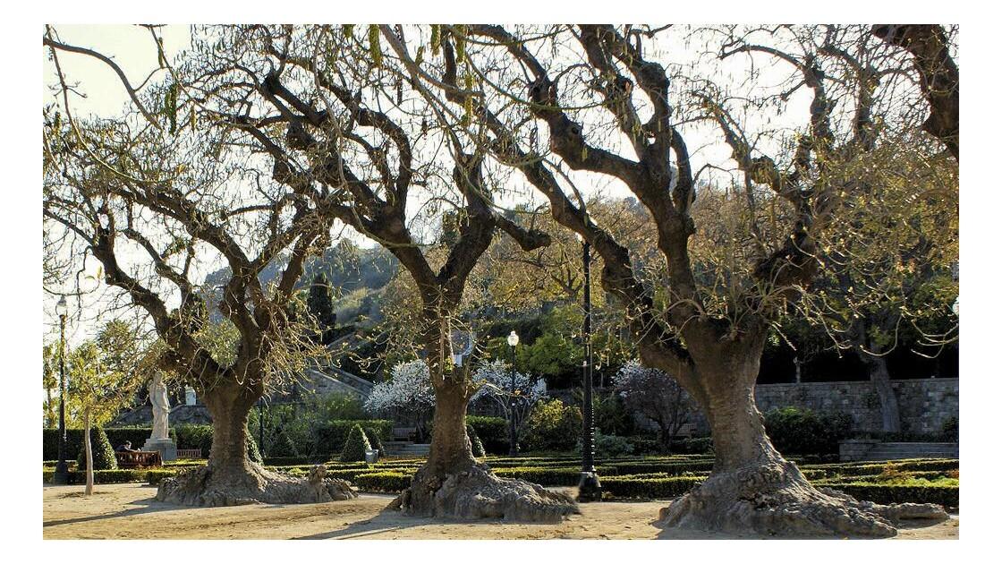 Ces arbres sont des ombús !