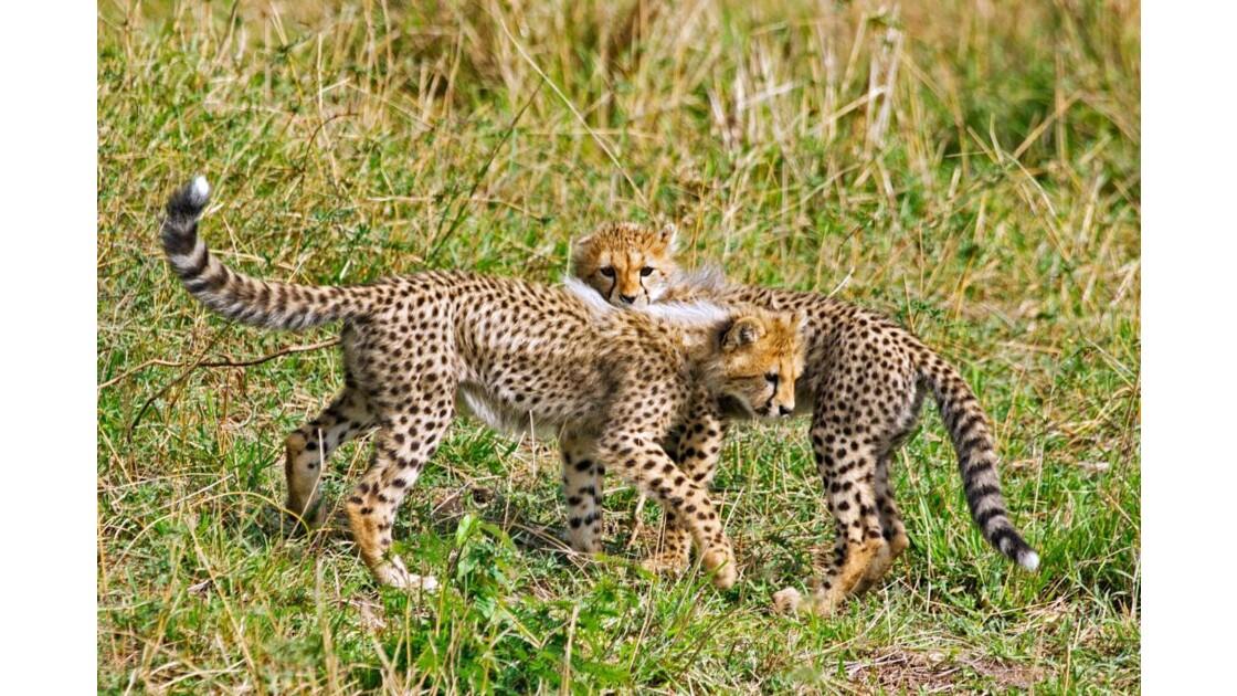 cheetah_1