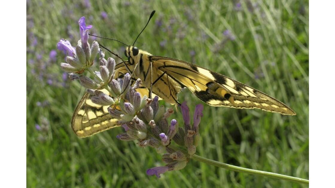 papillon concorde