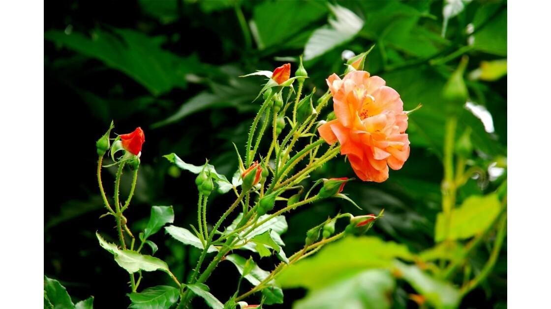 Orange rose  !!!