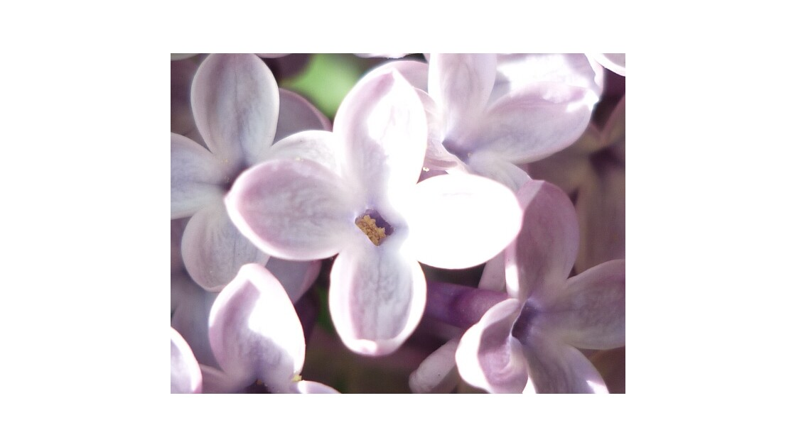 Joli lila