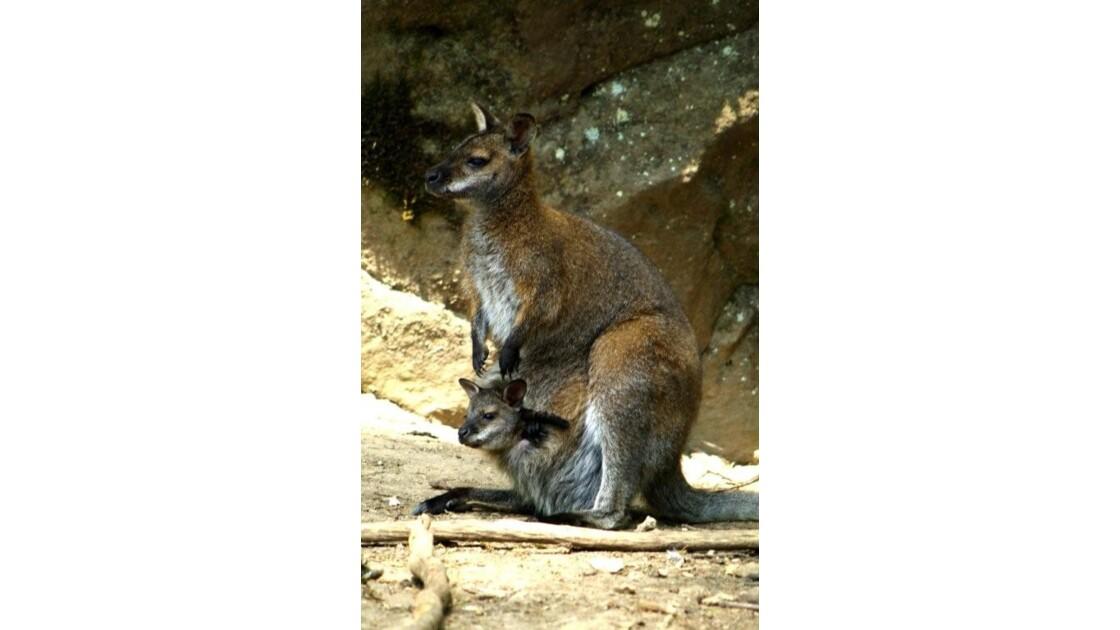 wallaby et son petit...