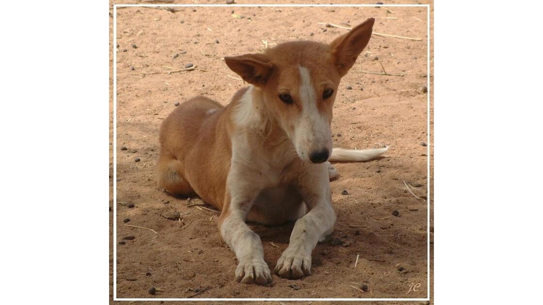Sloughi dans le désert au nord du NIGER