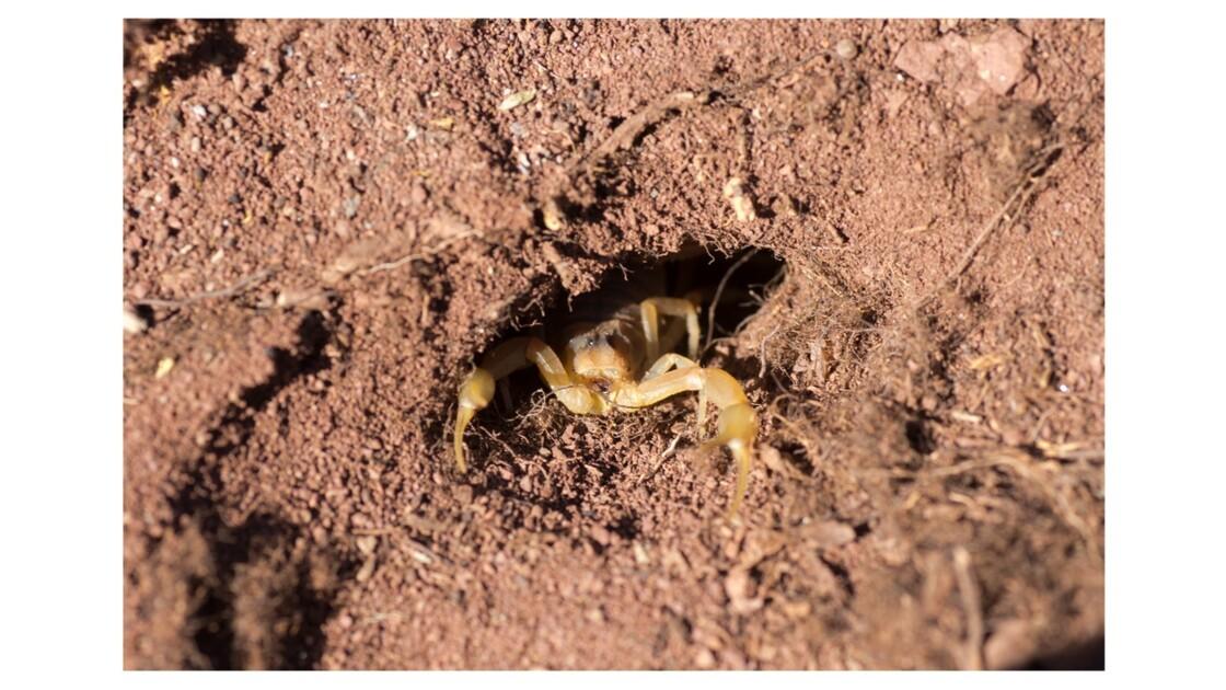 Scorpion languedocien