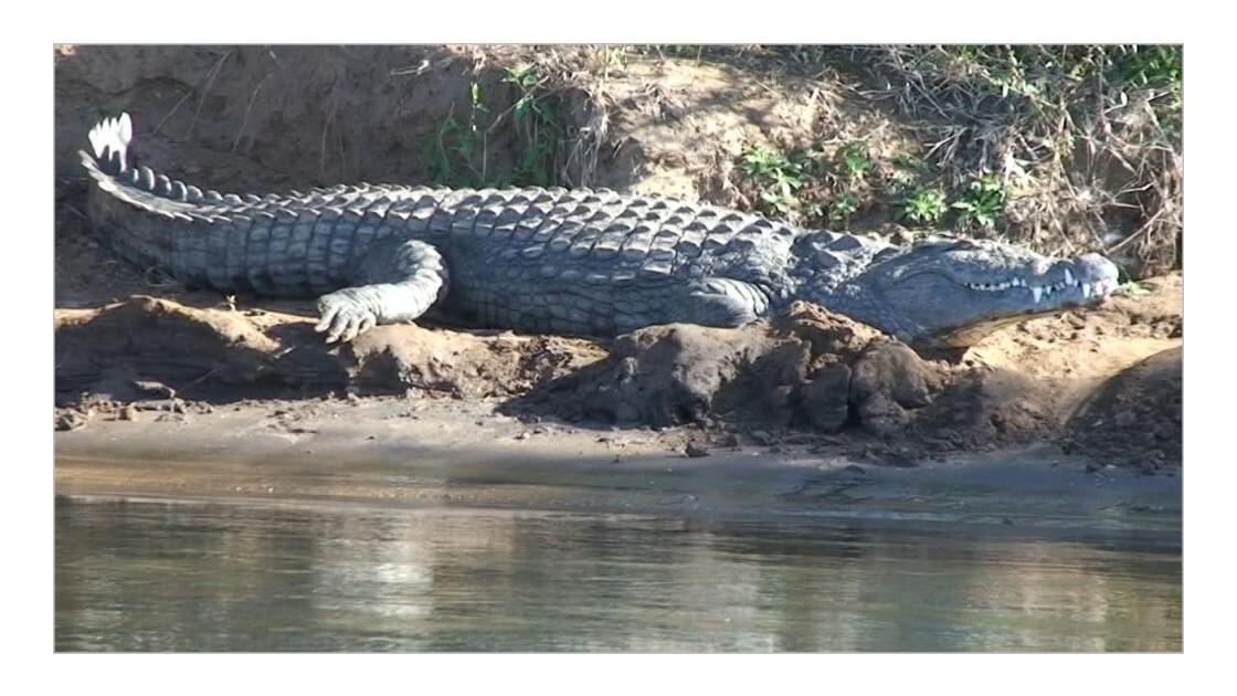 crocodile_chiawa_camp.JPG