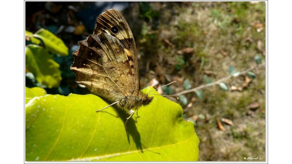 L' oeil du Papillon