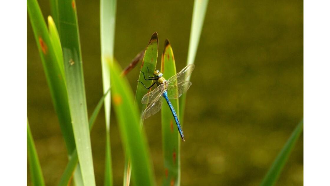 La libellule bleue, Anax imperator