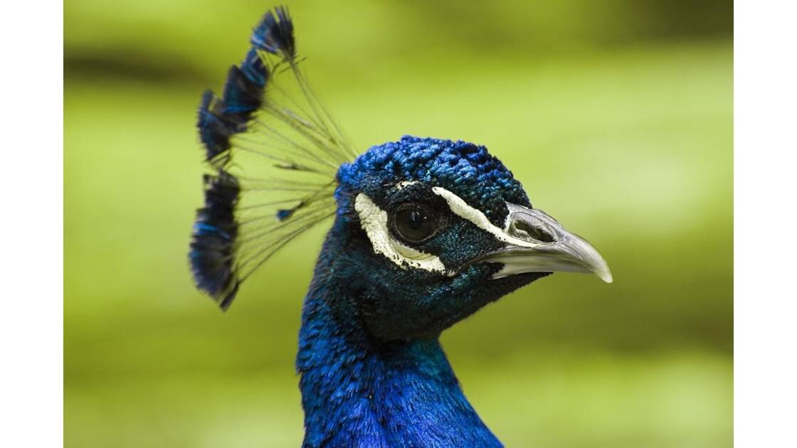 Portrait de paon