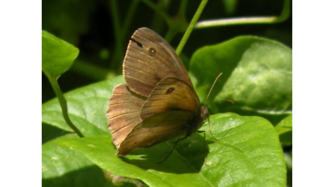 papillon au hazard