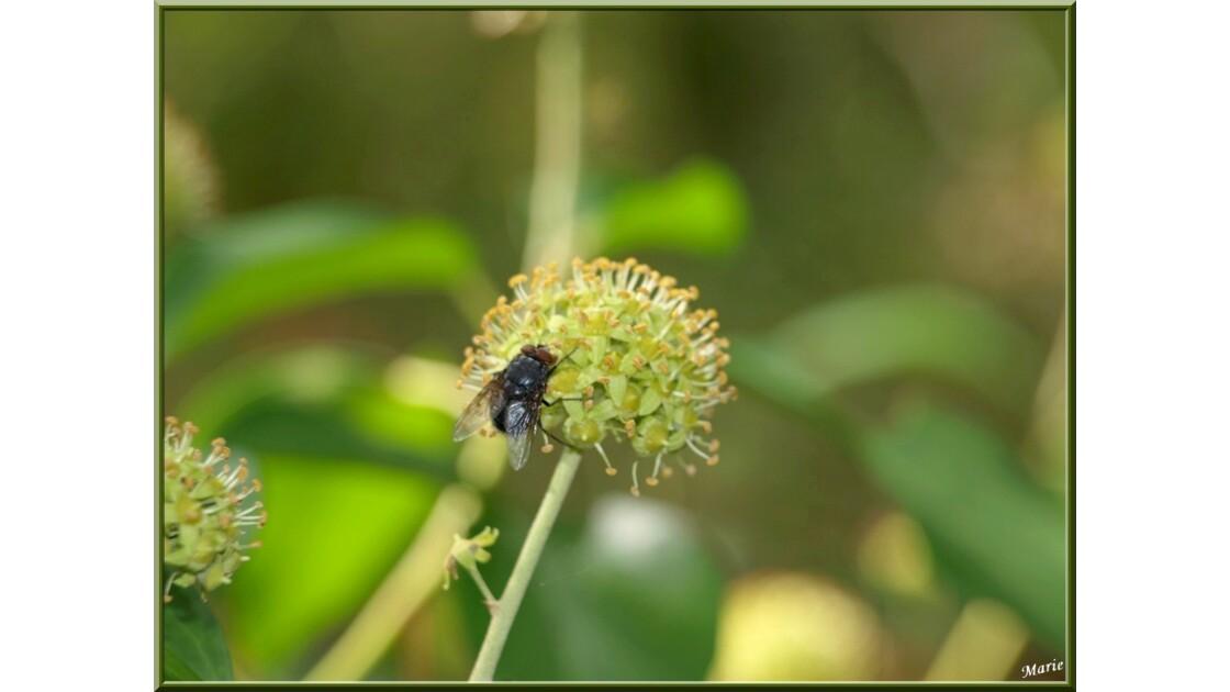 Mouche et lierre entre fleurs et baies