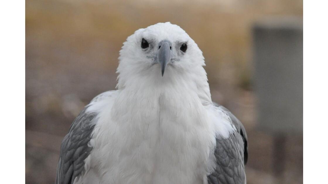 Aigle blanc et gris d'Australie