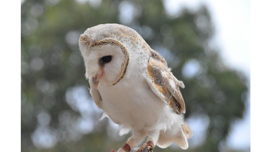 Oiseau dressé en Ausralie