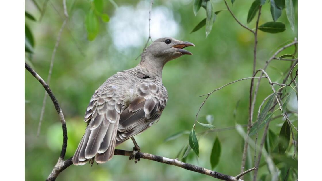 Oiseau d'Australie