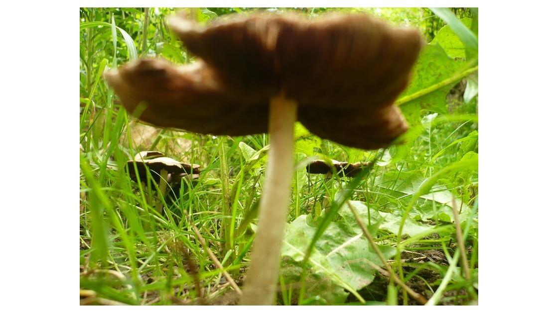 champignons de prés