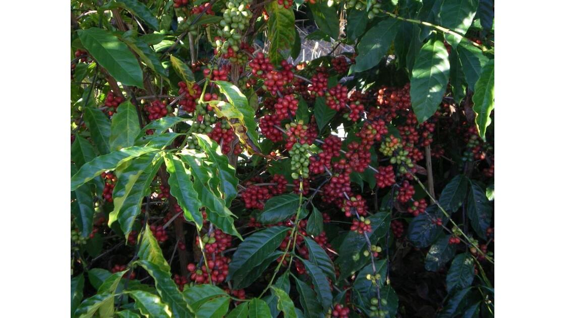 CAFEIER_fruits