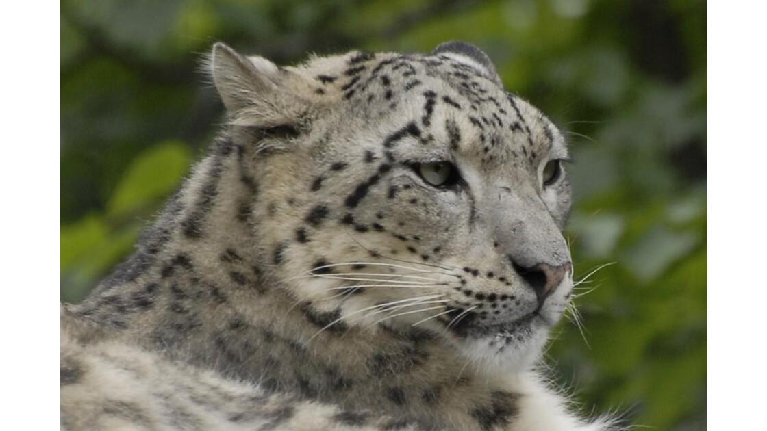 Tête de léopard des neiges