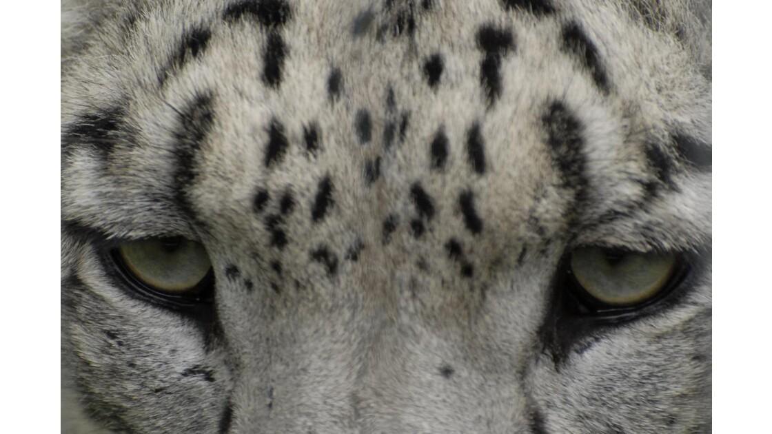 regard de léopard des neiges