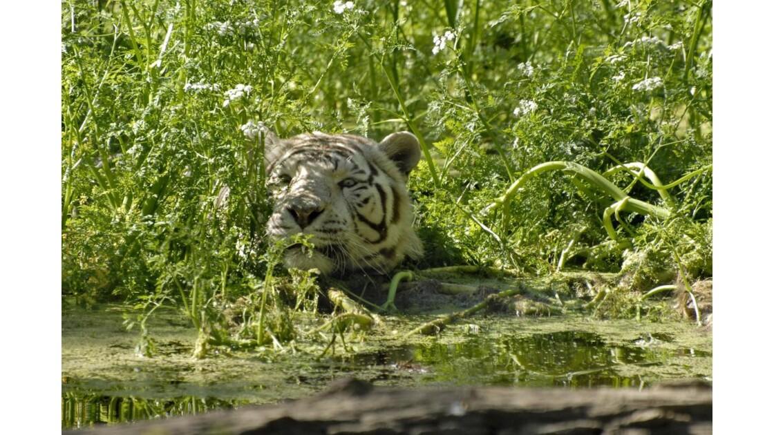 Portrait de tigre blanc face dans l'eau