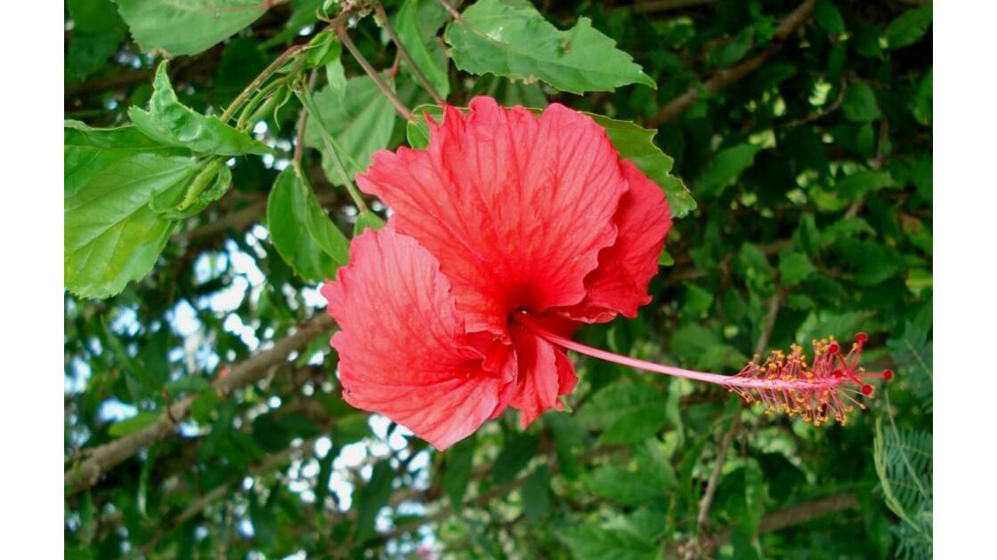 fleur du Pacifique