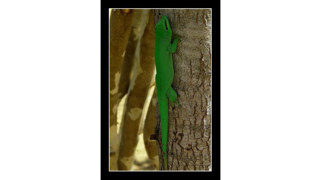 Un Gecko