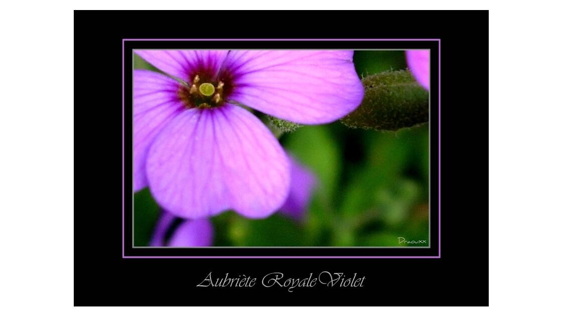 aubriète royale violet.jpg
