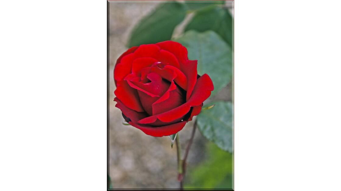 Rose 'cocorico' !
