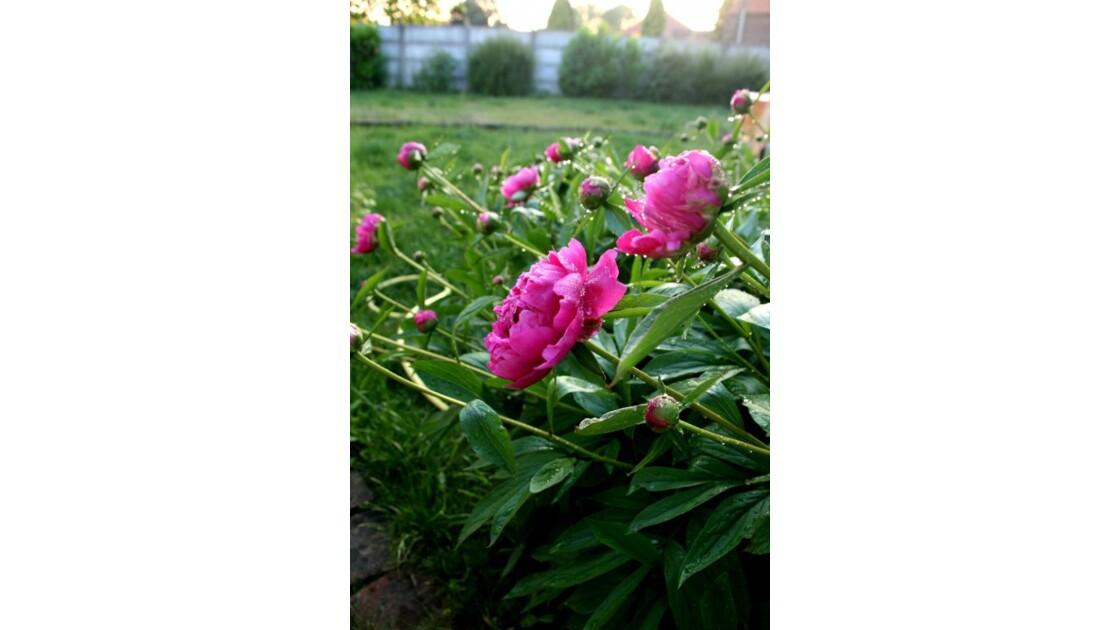 Rosées