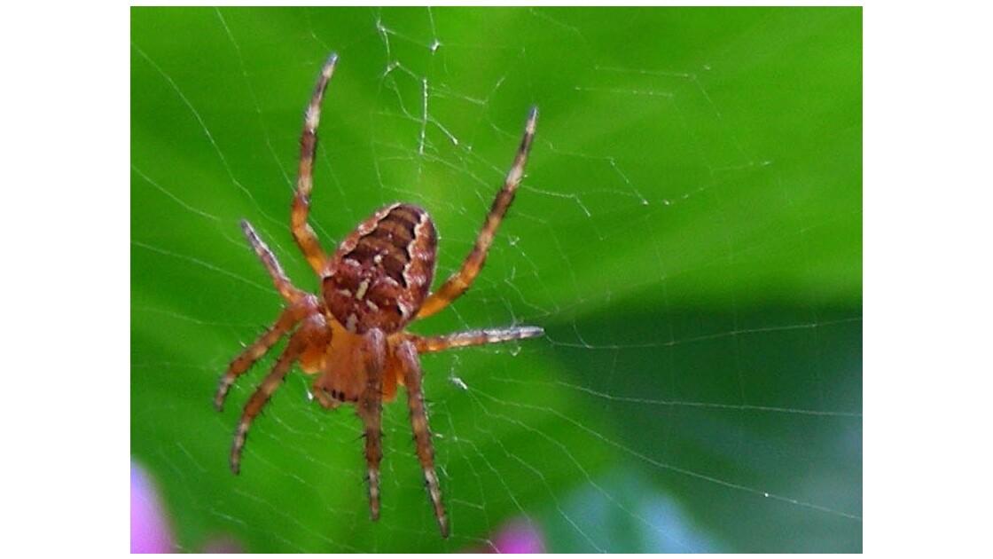 Araignée (1) - Epeïre porte croix