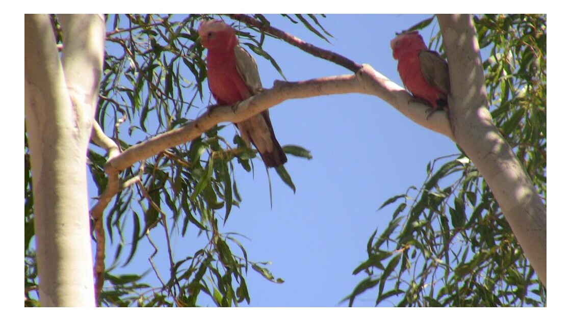 oiseau rose Australie