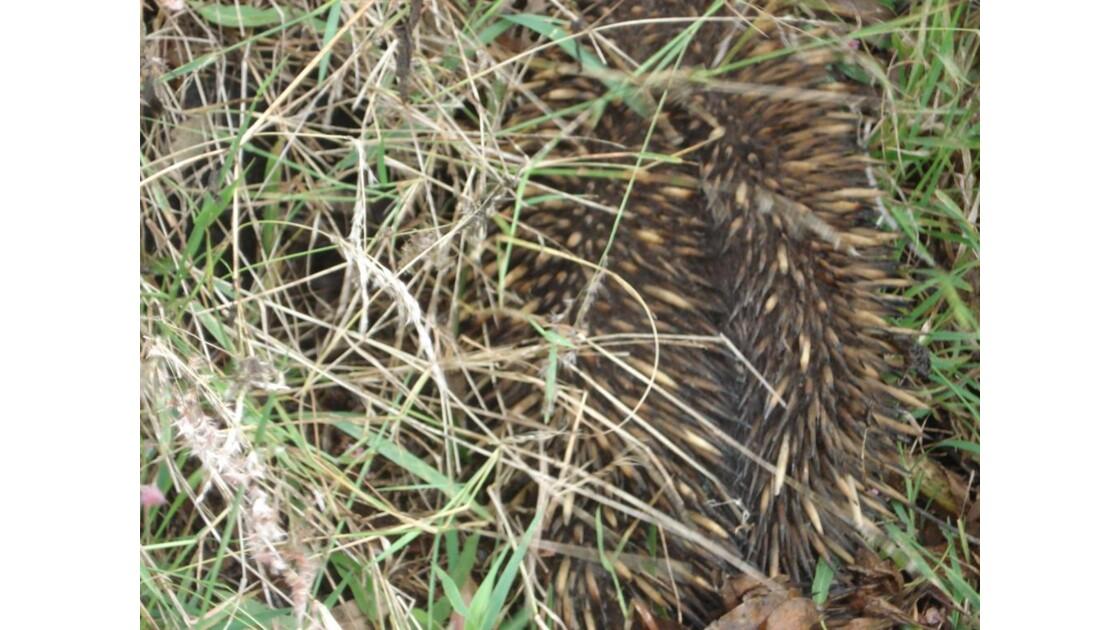 echidna australie
