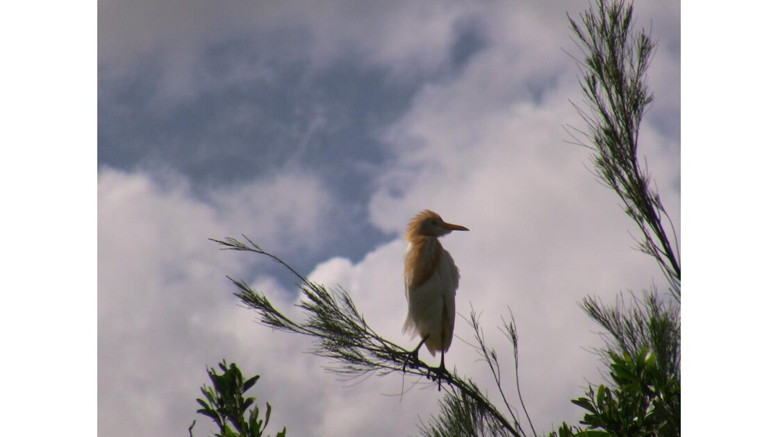 oiseau Gatton