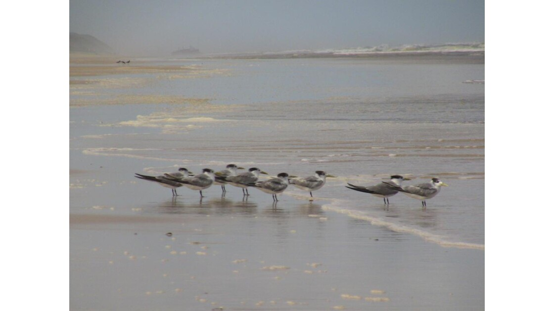 mouettes Fraser Island