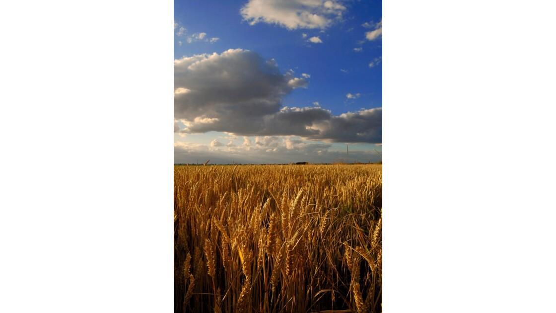 blé d'or sous les nuages