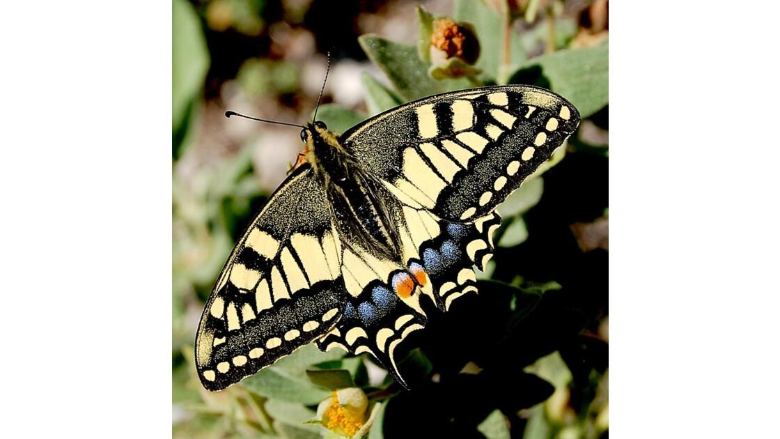 Papillon - Eygalières