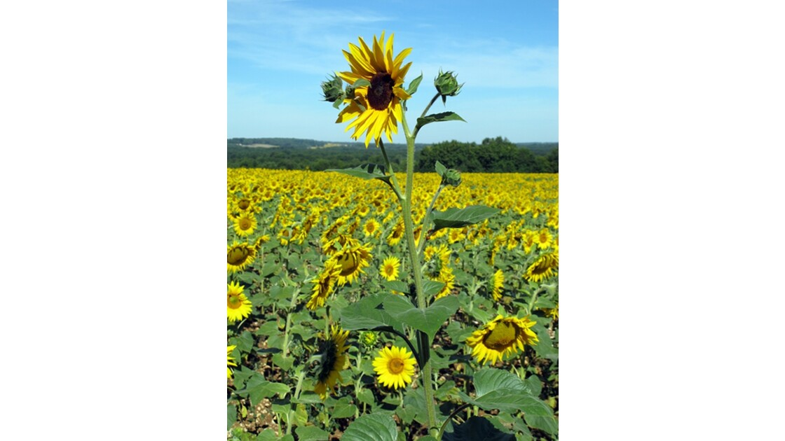 Tournesol mutant