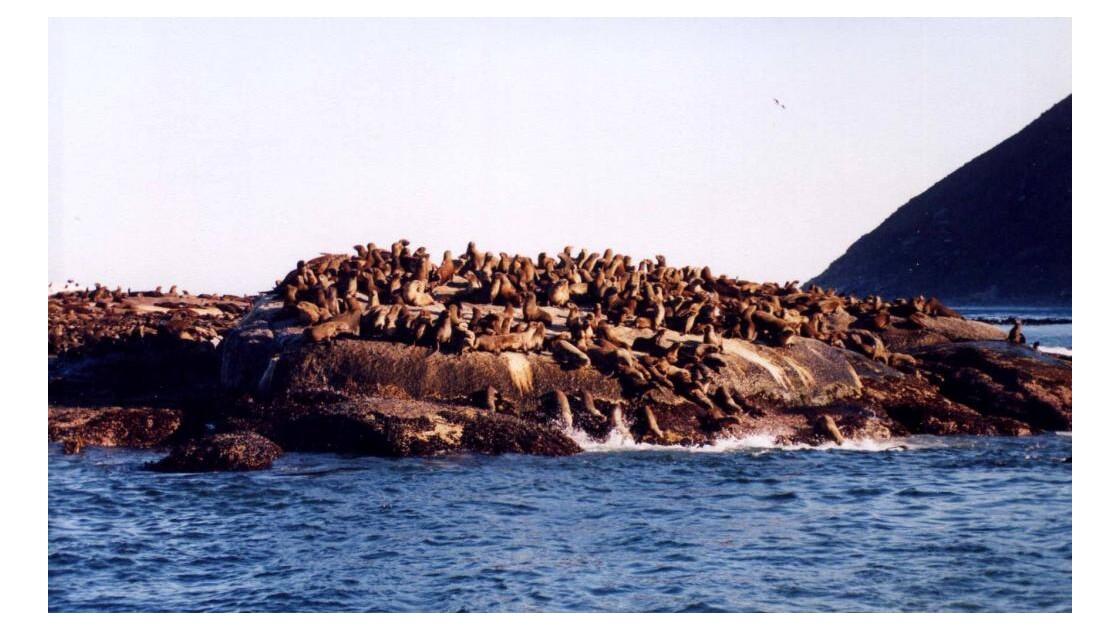 Colonie de phoques à fourrure du Cap.jp