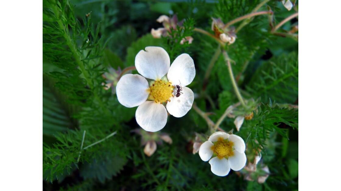 Madame fourmi sur une fleur de fraisier