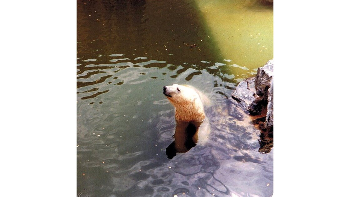 ours blanc au bain