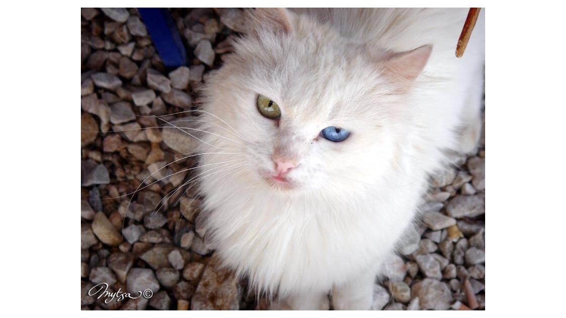 chat aux yeux vairons, livadi, serifos
