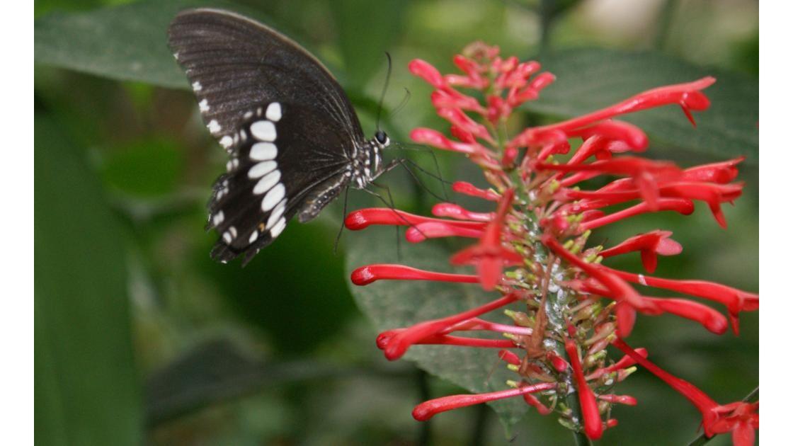 Papilionidae - Philippines